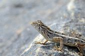picture of lizard skin  - beautiful little lizard on the rock in nature detail photo - JPG