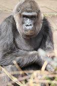 image of gorilla  - Western Lowland Gorilla  - JPG
