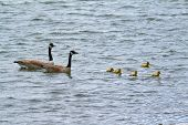 stock photo of baby goose  - A goose family floating on the water - JPG