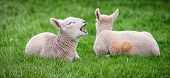 pic of spring lambs  - A young lamb yawns after waking from an afternoon nap - JPG