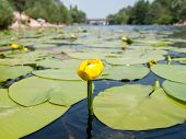 stock photo of day-lilies  - Water lilies on a small river during the summer sunny day - JPG