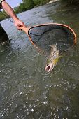 foto of caught  - Closeup of brown trout caught by fisherman - JPG