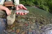 picture of trout fishing  - Fisherman catching brown trout with fishing line in river - JPG