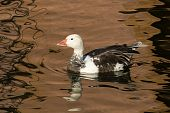 Anser Caerulescens, Snow Goose