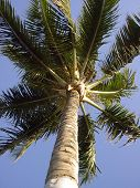 Hawaiianpalm