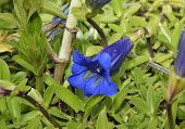 picture of trumpets  - Trumpet or Stemless Gentian - Gentiana acaulis