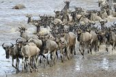 stock photo of wildebeest  - Wildebeest coming out of the river after crossing - JPG
