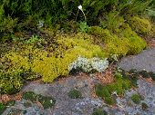 foto of lichenes  - Flora of Zalavruga - JPG