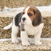 stock photo of little puppy  - Beautiful beagle puppy on the garden in winter - JPG