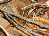 Closed-litter Rainbow Skink (carlia Longipes)