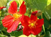 image of nasturtium  - Nasturtium flowers in the garden on a bed - JPG
