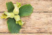 picture of hazelnut tree  - ripe hazelnuts in the garden on a wooden background - JPG