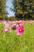 picture of cosmos flowers  - Cosmos flowers are blooming in the garden. ** Note: Shallow depth of field - JPG