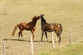 picture of pastures  - Two boisterous horses playing together in the pasture of a gate - JPG