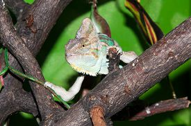 stock photo of chameleon  - The veiled chameleon Chamaeleo calyptratus is a large species of chameleon found in the mountain regions of Yemen the United Arab Emirates and Saudi Arabia - JPG