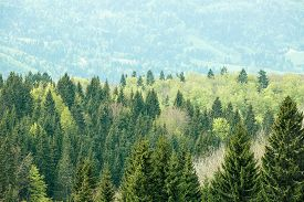 picture of ecosystem  - Healthy colorful coniferous and deciduous forest with old and big trees in desolate wilderness area of a national park - JPG