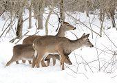 Whitetail Deer Yearlings And Doe