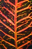 stock photo of crotons  - close up of croton leaf backlit in morning sun - JPG