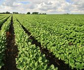 stock photo of soybeans  - farm with soybean field with rows of soya bean plants - JPG