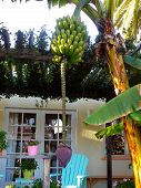 Banana Tree In Front Of California Bungalow