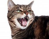 Angry Tabby Cat