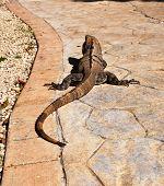 Long-tailed iguana.