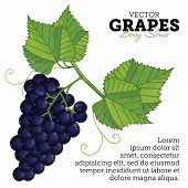 Постер, плакат: Grape Set Vector