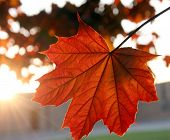 Sunset Maple Leaf