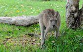 Canguru de cinza Oriental (Macropus giganteus)