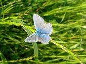 Butterfly On Grass Blue