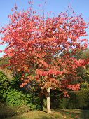 Autumn - Red Leaved Tree