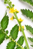 The Common agrimony (Agrimonia eupatoria) used as a cure for male impotence, disorders of the kidney