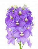 Violet delphinium flower
