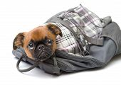 Funny puppy in a backpack