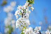 White Blossom Bee