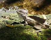Brown Basilisk, Jesus Christ Lizard (Costa Rica)