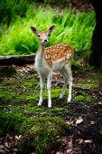 A Curious Young Fallow Deer