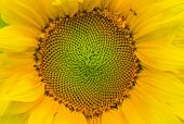 Natural background - closeup sunflower picture