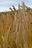 Barley, Hordeus Vulgare