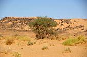 Tree in the desert, Libya