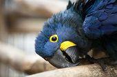 Head Of Hyacinth Macaw