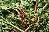Hail Damage On Rhubarb