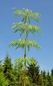 image of horsetail  - Colorful and crisp image of wood horsetail  - JPG
