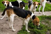 foto of foxhound  - Rack of hounds of dogs in the summer morning - JPG