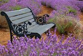 stock photo of lavender field  - springtime - JPG
