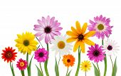 picture of daisy flower  - Group of colorful summer daisies on stems isolated on white - JPG