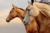 pic of fillies  - purebred horses closeup in a sunset close up - JPG