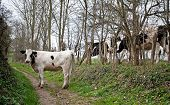Cow on an unpaved road in spring