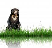 sun bear with green grass isolated on white background