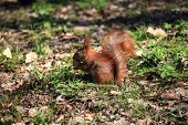 Cute And Furry Squirrel With The Nut Is Sitting In City Park poster